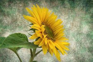 Thumbnail of featured artwork by members: Sunflower
